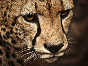 hartelust-devine-animal-tijger